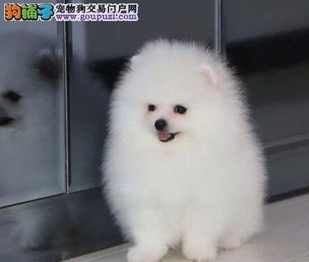 哈多利球形完美品相的武汉博美犬热卖中 保证品质售后