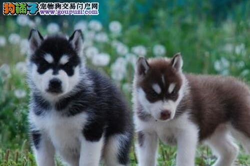 直销出售三把火双血统的徐州哈士奇幼犬 保证品质售后