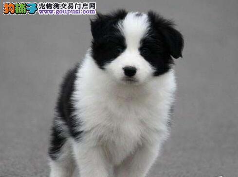 超高智商易训练的徐州边境牧羊犬找新家 狗贩子请绕行