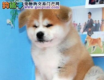 自家繁殖赛级品质石家庄秋田犬带血统证书