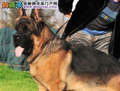 济南专业养殖基地促销价格转让纯种德国牧羊犬