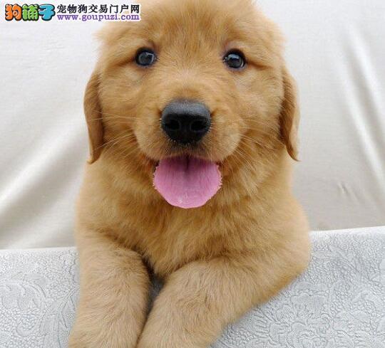 出售金灿灿的南宁金毛犬 建议大家直接上门选购爱犬