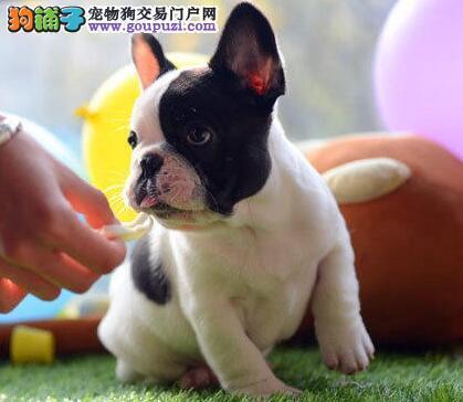 高品质的郑州法国斗牛犬找爸爸妈妈外地可空运已驱虫