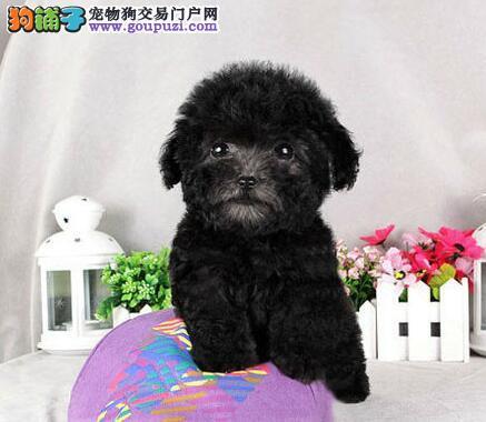 急售白色赛级玩具体贵宾犬宝宝