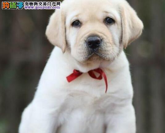 狗场出售精品太原拉布拉多犬品相好签协议