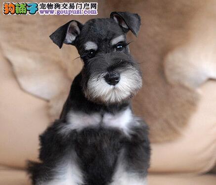 中山大型养殖基地直销椒盐色雪纳瑞幼犬 签订合法协议