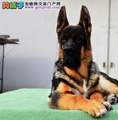 贵阳犬舍出售骨骼健硕的德国牧羊犬 保证品质和售后