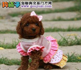 出售正宗优秀韩系血统朝阳贵宾犬 进口驱虫疫苗已做好