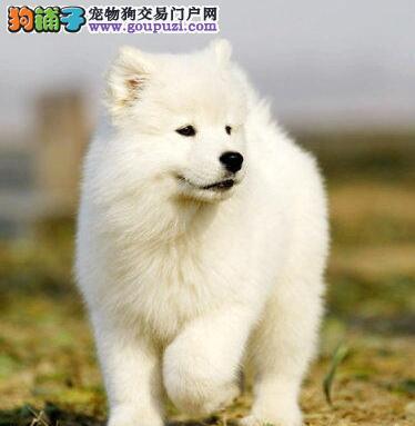 赛级品质微笑天使福州萨摩耶出售 可当面看狗可空运