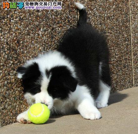 顶级优秀七白到位边境牧羊犬南京犬舍热销 可接受预定