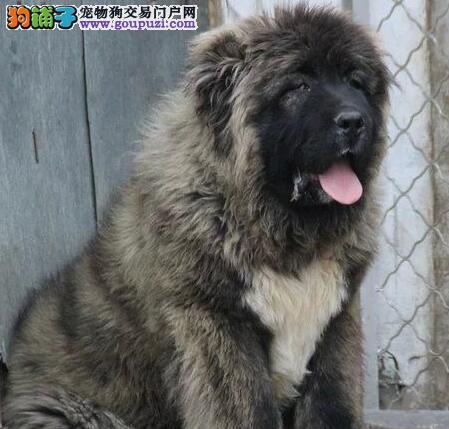 俄罗斯引进血系高品质高加索幼犬低价质保出售