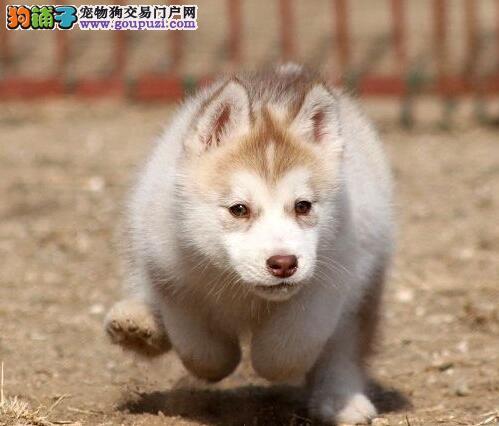贵阳犬舍出售宝石蓝眼睛的哈士奇 纯种健康签合同