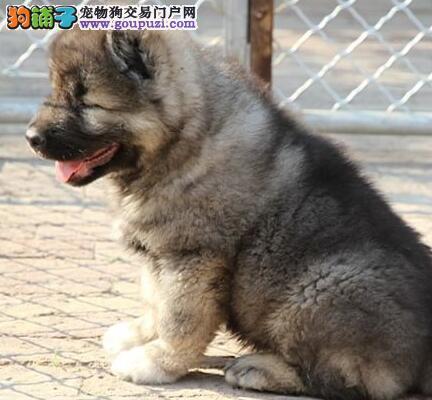 南昌繁殖基地出售纯种高加索幼犬 骨量大毛量足品相好