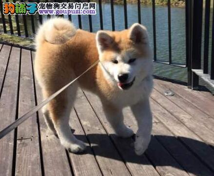 南昌狗场出售日系秋田犬 可以上门选购爱犬看种犬
