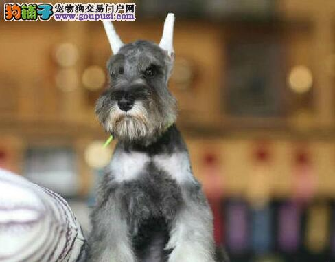 出售大胡子小老头品相的南宁雪纳瑞幼犬 签订协议