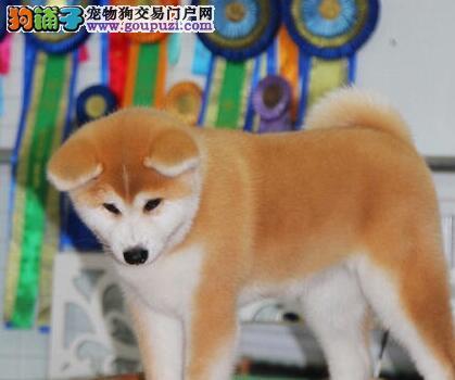 自己繁殖的青岛秋田犬超低价出售 可随时与我电话联系