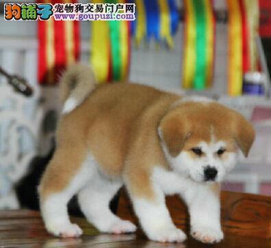 狗场转让赛级日系青岛秋田犬毛色亮丽品质保证
