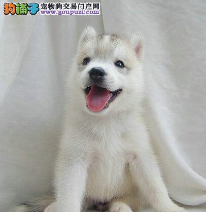 福州狗场出售高品质哈士奇蓝眼三把火保证健康