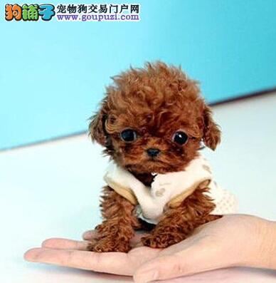 出售自家繁殖的香槟色迷你型泰迪犬幼犬