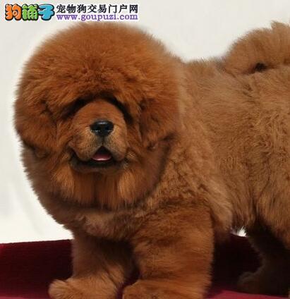 大型獒园促销顶级福州藏獒质量保证售后三包