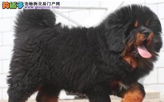 极品原生态藏獒青岛狗场热卖中 欢迎提前接受预定