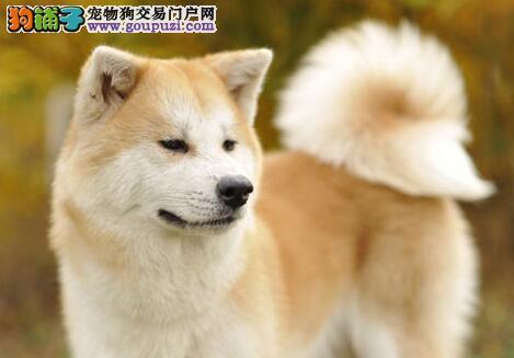 正规狗场繁殖直销上海秋田犬 已做疫苗可办理证书芯片