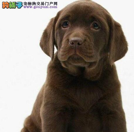 转让自家繁殖的兰州拉布拉多犬 品相好血统纯签订协议