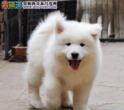 微笑天使般的萨摩耶幼犬热卖中 太原地区可免费送货