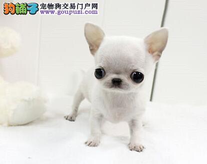 超小体大眼睛的太原吉娃娃幼犬热卖中 请您放心选择