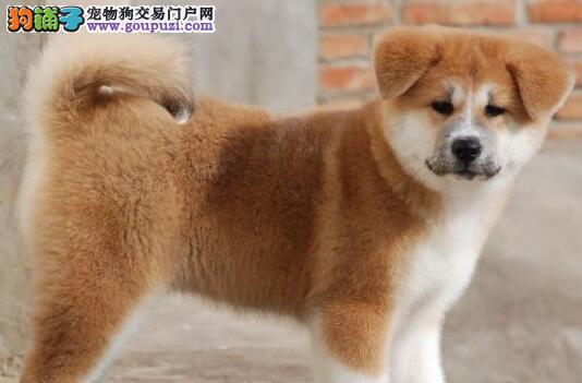活泼可爱身体健康的秋田犬找新家 太原的朋友放心选