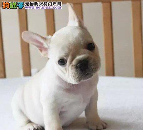 出售正宗血统优秀的郑州法国斗牛犬品质一流三包终身协议