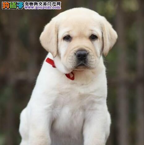 狗场直销纯种健康的西宁拉布拉多犬 签订售后协议书