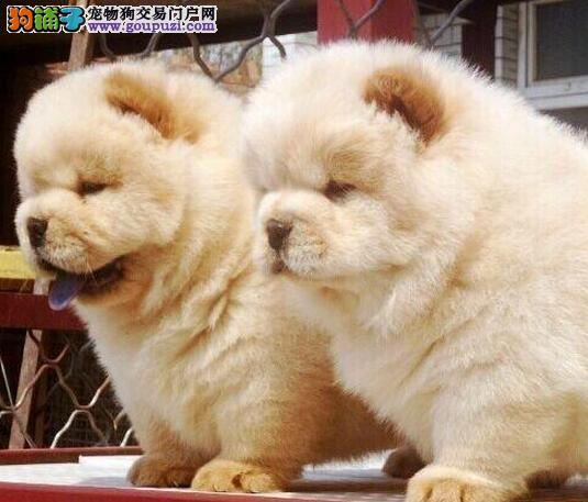 太原犬舍出售肉嘴紫舌头的松狮犬 大家放心选购爱犬