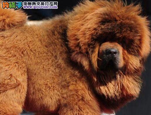 太原大型狗场直销狮子头的藏獒幼崽 随时上门选购看狗