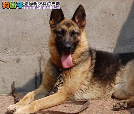 基地转让好品质石家庄德国牧羊犬幼犬质保出售