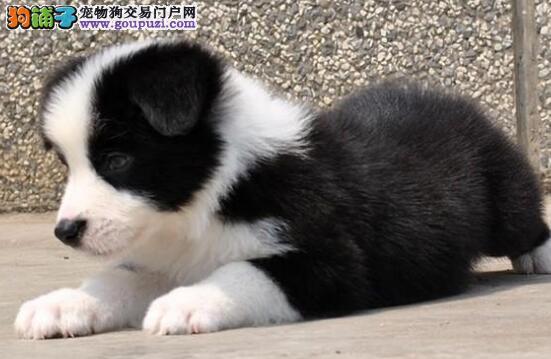 直销精品郑州边境牧羊犬 七白到位可签订购买合同