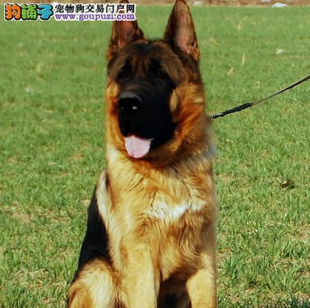 南昌知名犬业低价出售德国牧羊犬 黑背弓腰锤系血统