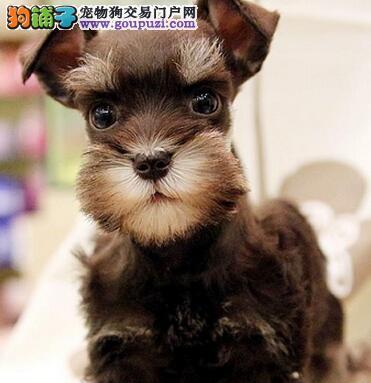 南京精品雪纳瑞幼犬出售 送用品签协议包养活