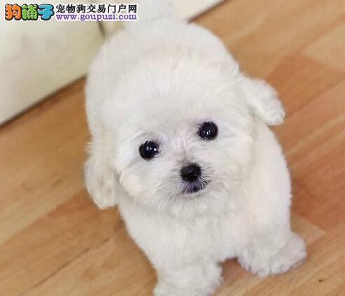 北京泰迪犬犬舍直销买玩具泰迪熊宝宝送大礼