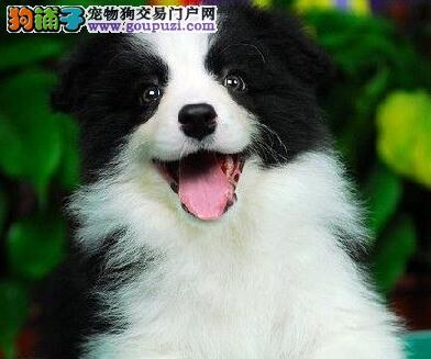 家养边境牧羊犬转让中苏州地区上门购买可优惠