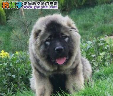 苏州基地多只高加索犬促销中购买可签订活体协议
