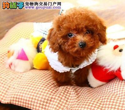 专业实体店促销好品质贵宾犬苏州市区购买送用品