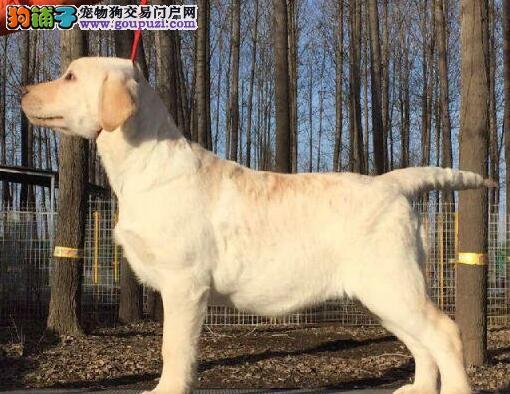 西安正规狗场热销纯种拉布拉多犬 冠军级血系血统纯正