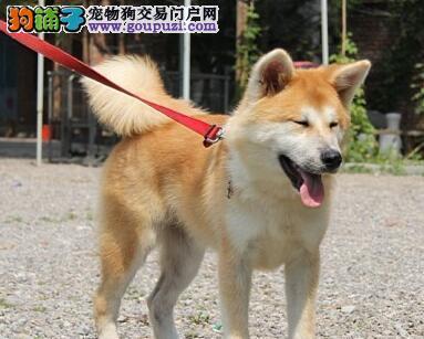 青岛繁殖狗场出售高品质的日系秋田犬 保品质健康