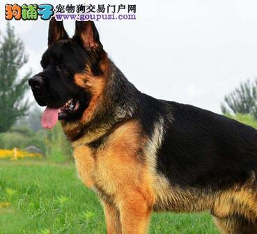 西安基地出售精品德国牧羊犬售后有保障
