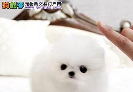 极品纯种博美犬特价直销 武汉地区可免邮费可接受预定