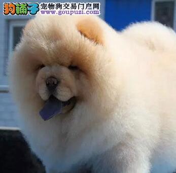 重庆那里有出售松狮 重庆那里有正规店出售松狮