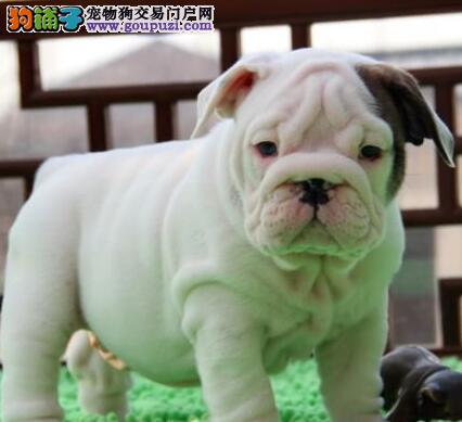 武汉信誉犬舍热销高品质斗牛犬 可签订协议赠送狗用品