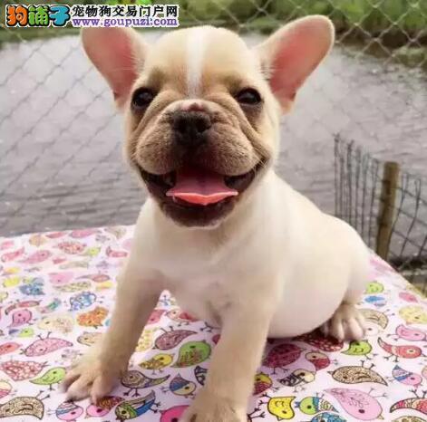 上海专业犬舍转让纯种斗牛犬品相好可见父母