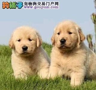 优惠促销好品质金毛犬沈阳市区内上门购犬可优惠